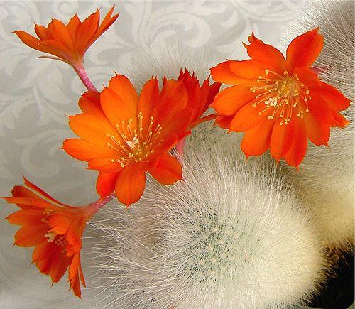 flowering cactus  ........  http://about.me/abdurrahim_attalhi