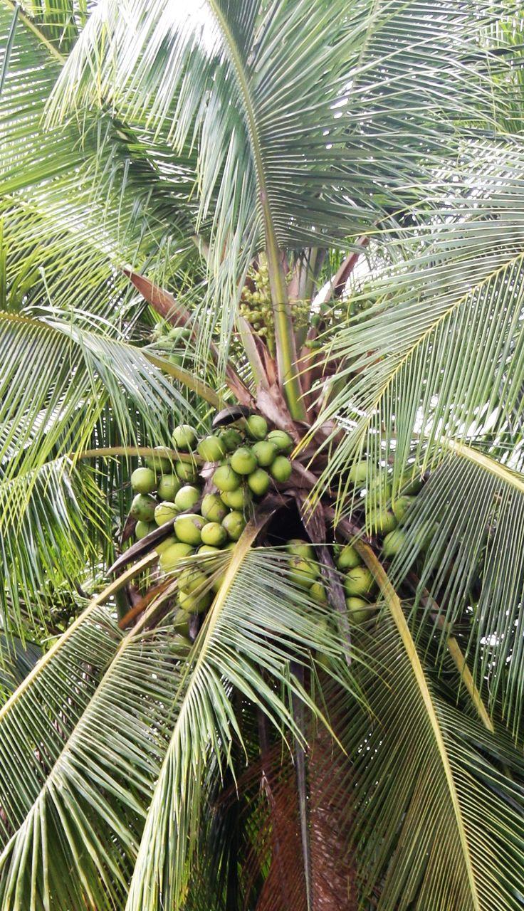 Grün. Rund. Natürlich.  Die Kokosnuss in natura