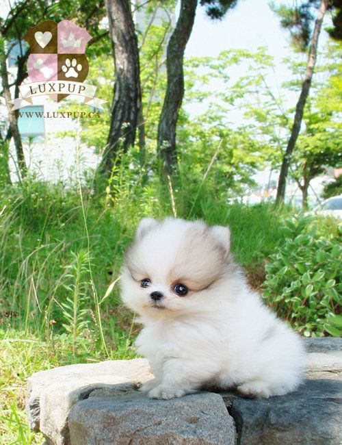 Parti Color Pomeranian