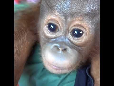 Ontmoet baby orang-oetan Gonda | VIER VOETERS | www.vier-voeters.nl - YouTube