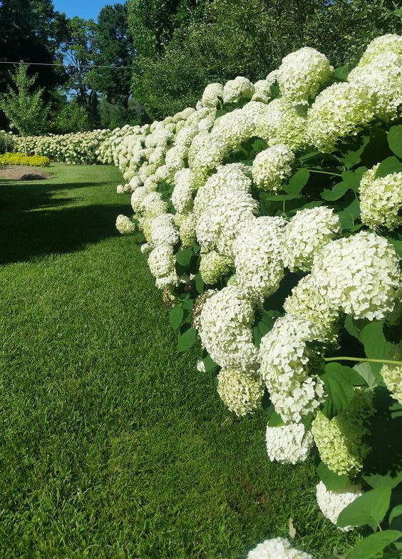 Incrediball Hydrangea Hedge! Wow, this is beautiful!