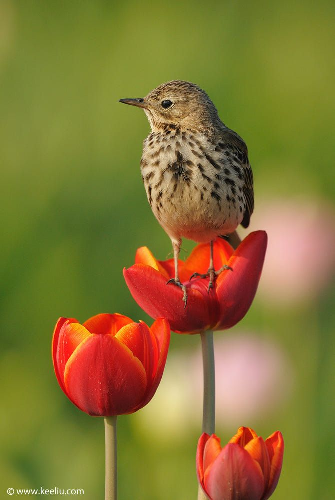 Meadow Pipit by Kee Liu on 500px