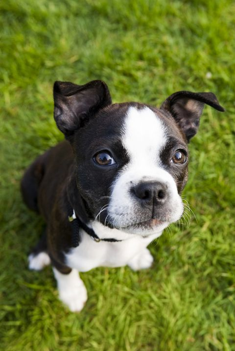 Boston Terrier Best Apartment Dogs Cute Small Dog Breeds