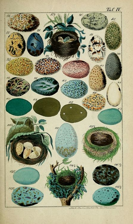 The nests and eggs of the broods in Deutschland and neighbouring countries birds by E. Willibald, 1854