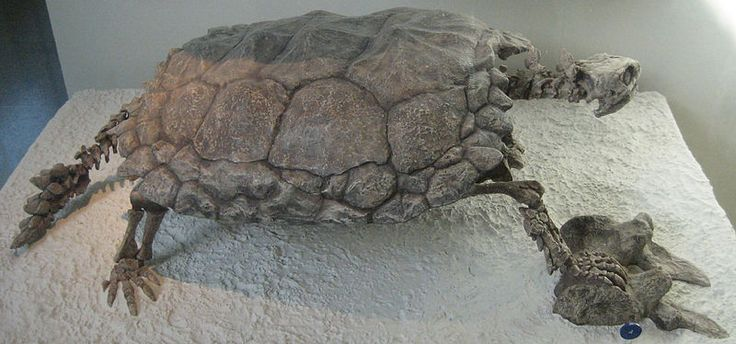 Proganochelys quenstedti, American Museum of Natural History