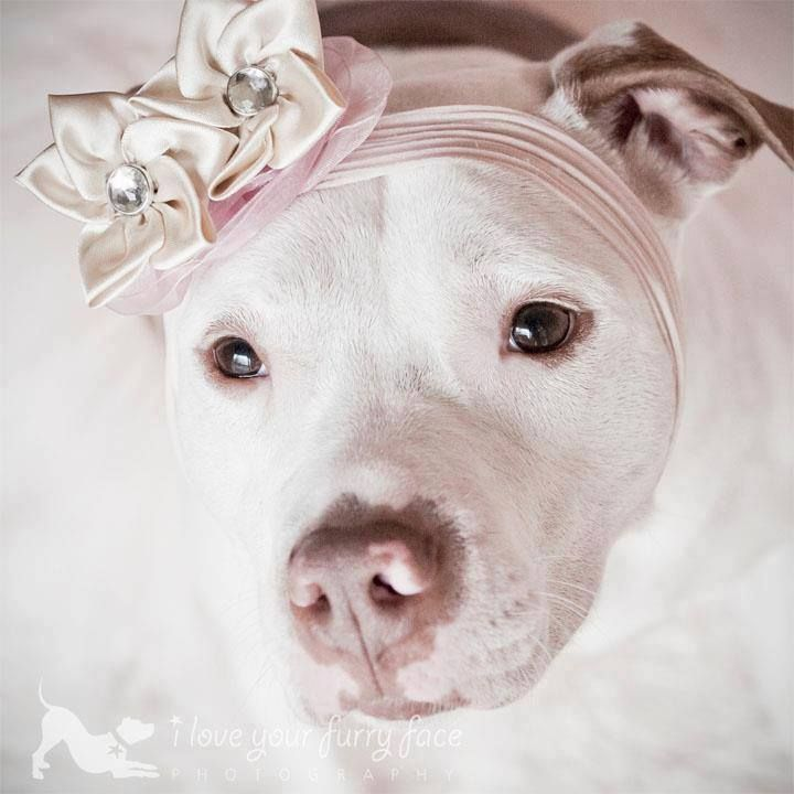 This is how we, as people who know pitbulls, see these wonderful dogs <3.