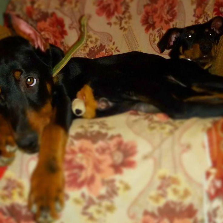 Guys #dobermans just going to  sleep a lil bit.  #Tarzan &  #LadyMiMi  #doberman #dogs #dogsofinstagram #dobermanpride #dobylove #puppy #pets #alldoberman Ребята #доберманы #Тарзан и #ЛедиМиМи слегка засыпают. #шенок #собака #собаки #доберман #домашниепитомцы #доберманчик
