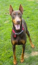 Mercedes is an adoptable Doberman Pinscher Dog in Arlington, VA. Mercedes is a very pretty, 4 year old, cropped and docked, red/rust female doberman. Mercedes was rescued by DAR