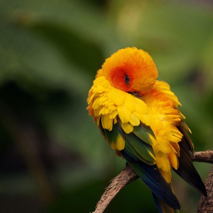Sun Conure Parrot (Aratinga solstitialis).