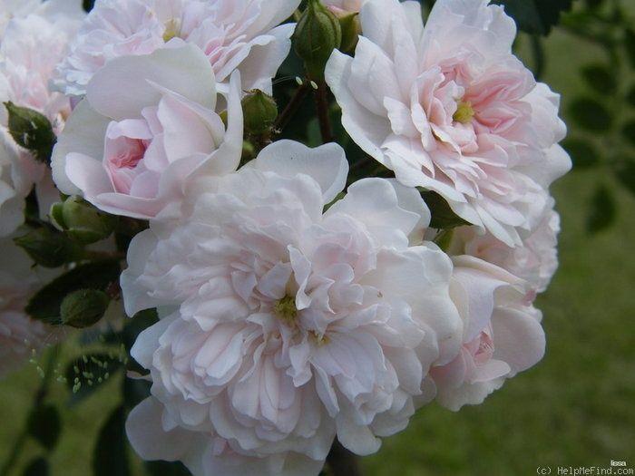 'White Dorothy Perkins' Rose Photo*