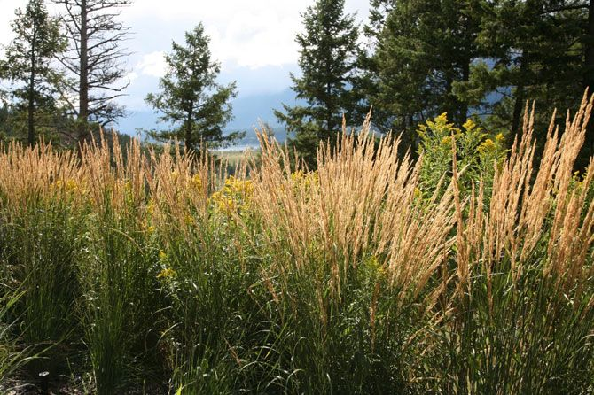 Types of ornamental grass choosing ornamental grasses for Kinds of ornamental grasses