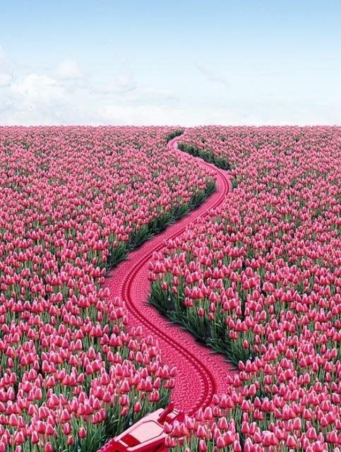 A field of pink tulips.