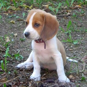 Beagle Puppies Breeders Beagles