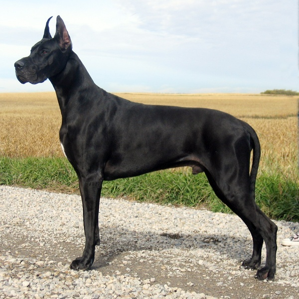 Gorgeous boy!  One day I'd like to have an all-black Dane...(still love my Siuan baby, though)