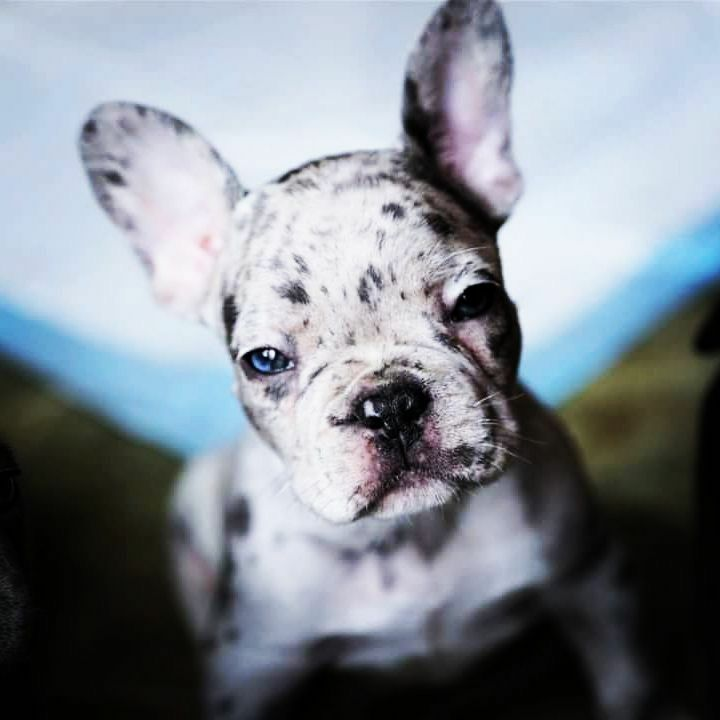 Charcoal Forest French Bulldogs Located In Illinois Merle