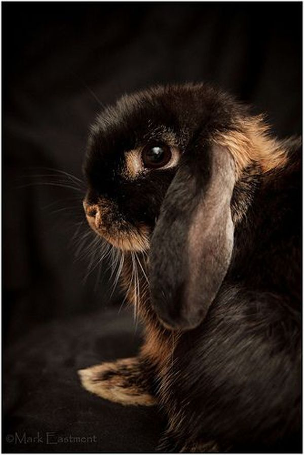 chocolate brown lop eared bunny