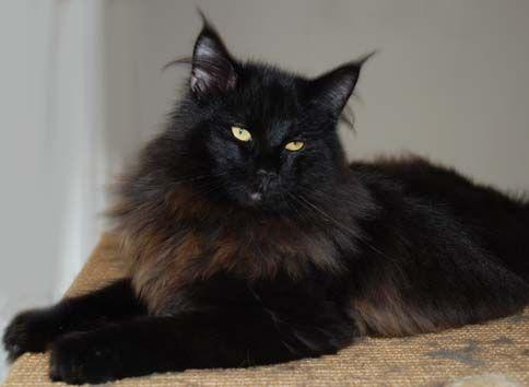 Black Norwegian Forest Cat | EC Titran's Tiberius Claudius Nero, NFO n