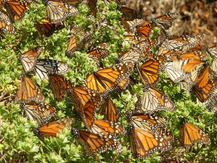 В хвойные леса штата Мичиган на зимовку прилетают бабочки-монархи. В этом уникальном месте собирается 90% их популяции.