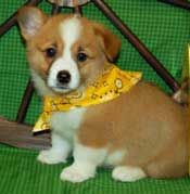 Miniature tea cup Pug Puppies | Welsh Corgi puppies for sale in chicago il illinois. welsh corgy puppy ...