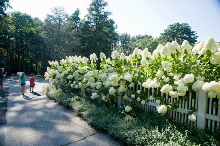 Snowball Hydrangea Landscaping