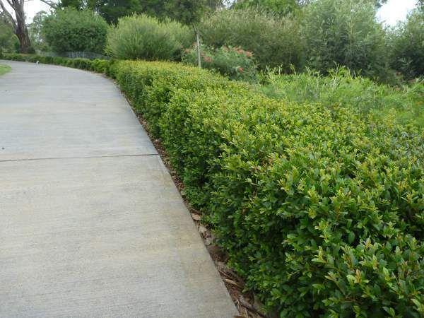 Hinterland Golden Lily Pily - SYZYGIUM AUSTRALE
