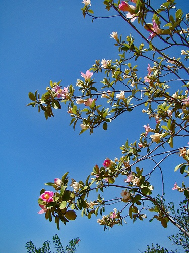 Lagunaria patersonii by contemplar, via Flickr
