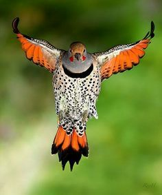 """Yellow Wing the Flicker, of the Woodpecker family. He bounds in the air as he flies. His wife calls, """"Pe-ok!"""" He stays on the ground a lot because he loves ants.  He enjoys drumming on a tin roof."""