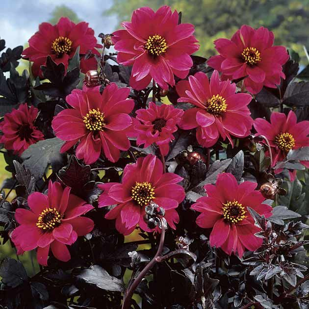 Dahlia 'Bishop of Canterbury Bronzeleaf'