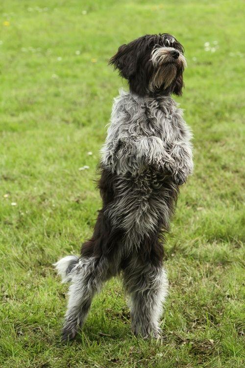schapendoes dog photo | Schapendoes. | Picture Perfect-Pets