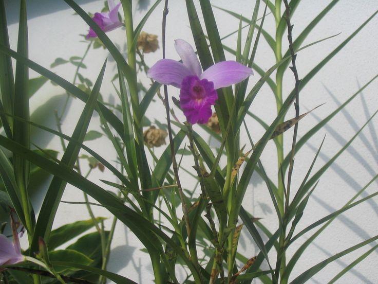 tipos de orquideas de puerto rico | orquideas de tierra - group picture, image by tag - keywordpictures ...