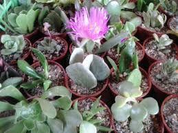 Resultado de imagen para cactus y suculentas variedades