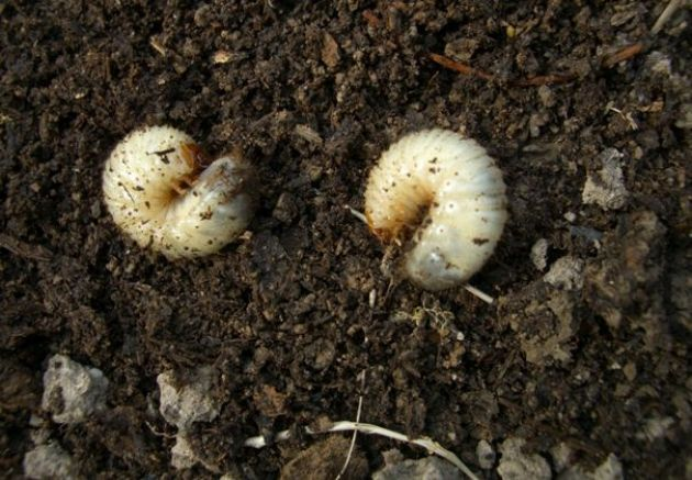 фото автора Сада без вредителей не бывает. Многие справляются с ними с помощью пестицидов, но можно обратиться и к народному опыту. Личинка майского жука (хруща) – один из самых опасных садов…