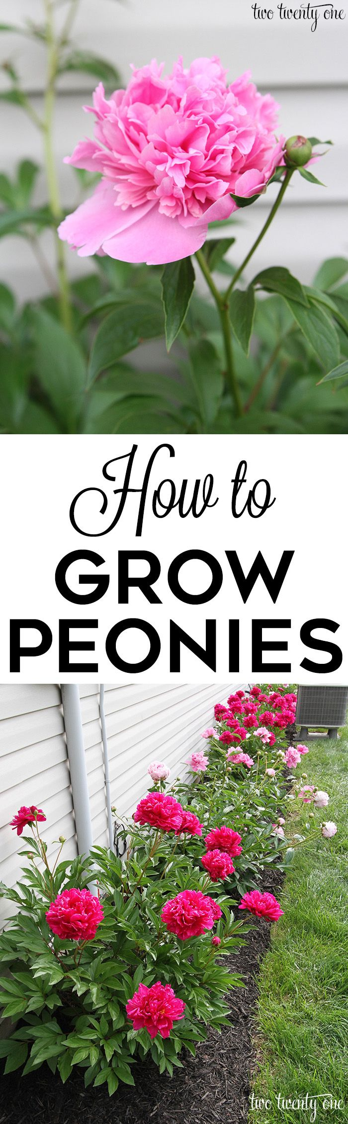 growing peonies