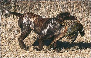 Deutsche Wachtelhund
