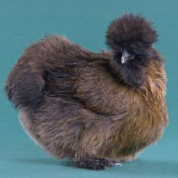 Chicken Breeds - Partridge Silkie Pullet
