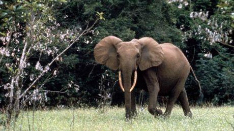 Populațiile de elefanți de pădure din Africa centrală, reduse cu aproape 80% de braconieri