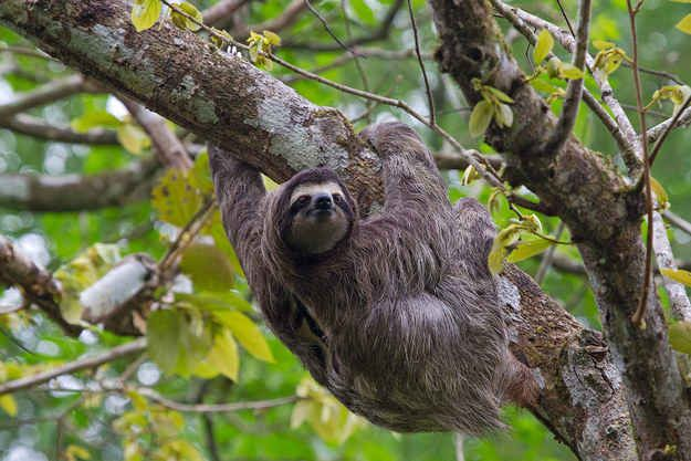 They are arboreal animals, which means they live and spend almost their entire lives in trees.