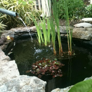 17 best images about pond plants on pinterest above for Koi pond plants