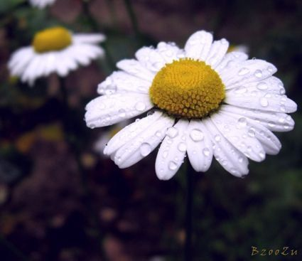 Simple, beautiful daisies. 22.06.2013