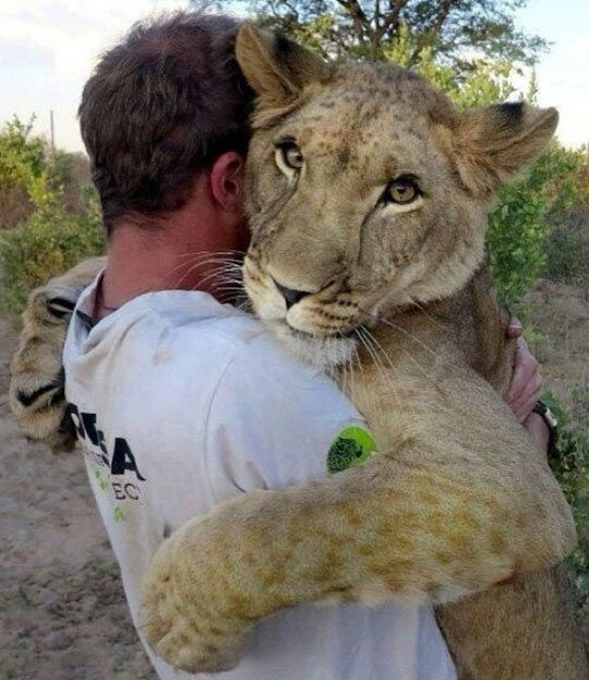 Come on. Hug it out!  #lion #animals