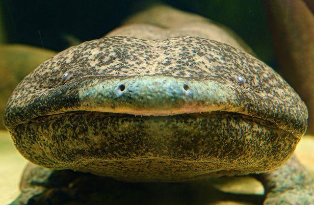 Giant Salamander (Andrias davidianus)