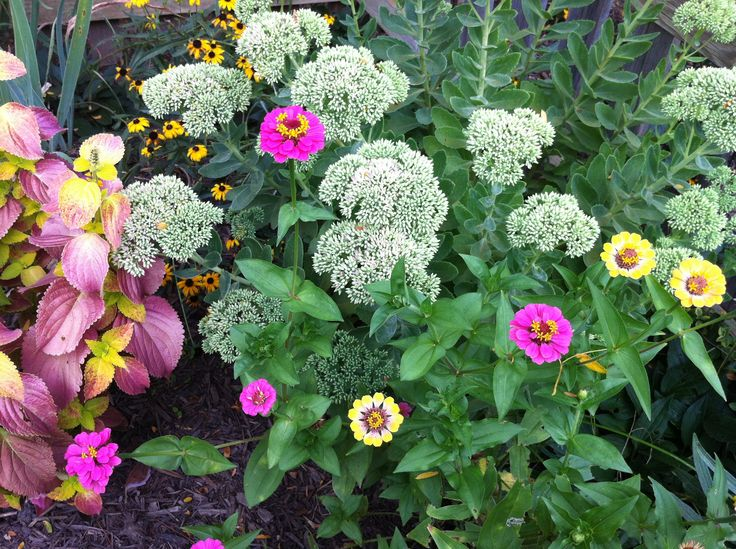 @Teresa shares : Sunny Knockout Rose; Zinnias, Coreopsis, Lantana, Coleus all did fabulous and our drought lasted 9 weeks!