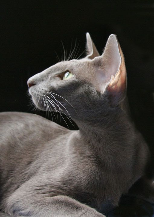 Oriental Shorthair Cat -such a regal nose - THIS is where the cat we know today started
