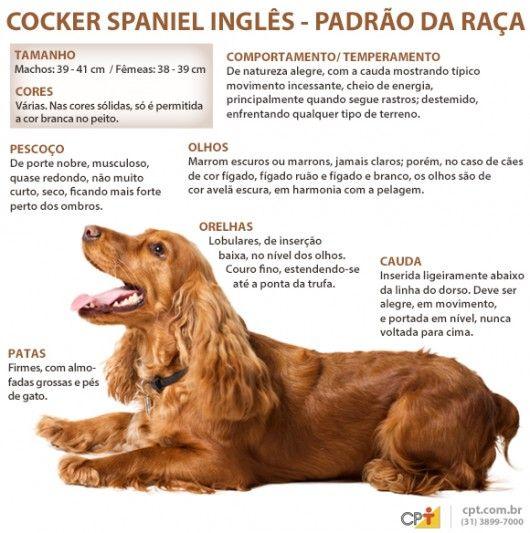 Padrão da raça Cocker Spaniel Inglês