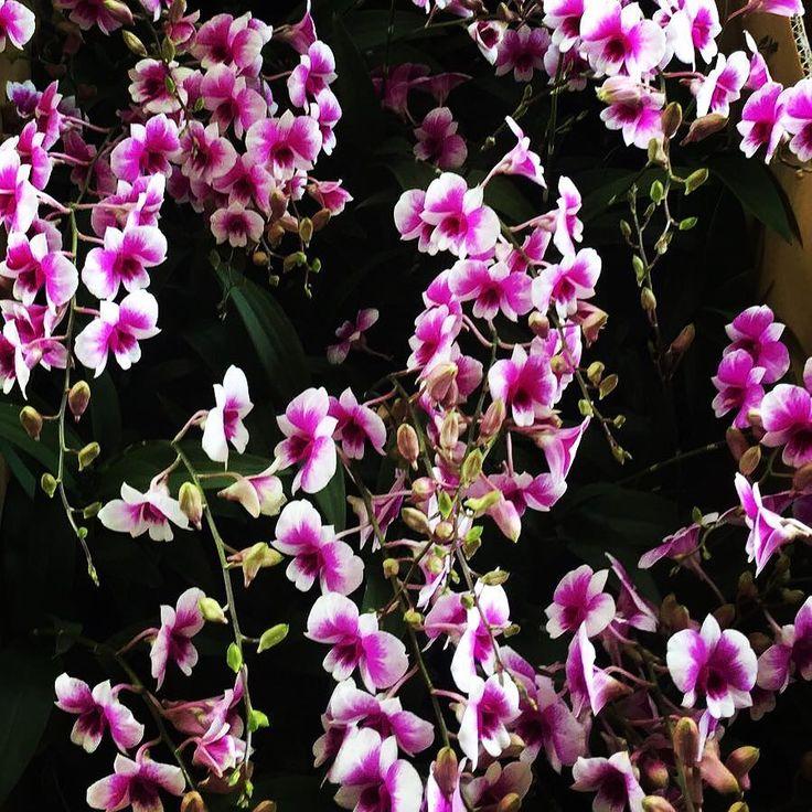 Dendrobium Yaya  #tohgarden #singapore #tropical #farm #yaya #orchid #orchidstagram #orchideeën #orchids #orchidflowers #orchidgarden #orchidworld #orchidlove #instagramorchids #instaorchid #orchidfan #orchidaceae #orchidofilia #orchideeën #pink #orchidisland #orchidplant #colourfulflowers #flowers #flowerfarmer #flowerfarming #orchidfarmer #