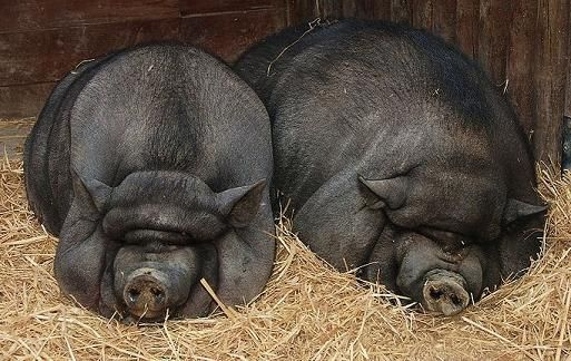 Black Pots, Farms Stuff, Belly Pigsthey, Belly Piggies, Potbelly Pigs, Pets Pigs, Momma Piggies, Pots Belly Pigs, Pigs Pigs