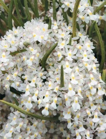 Simples de cuidar, a espécie brasileira Rodriguezia Venusta...                                                                                                                                                                                 Mais