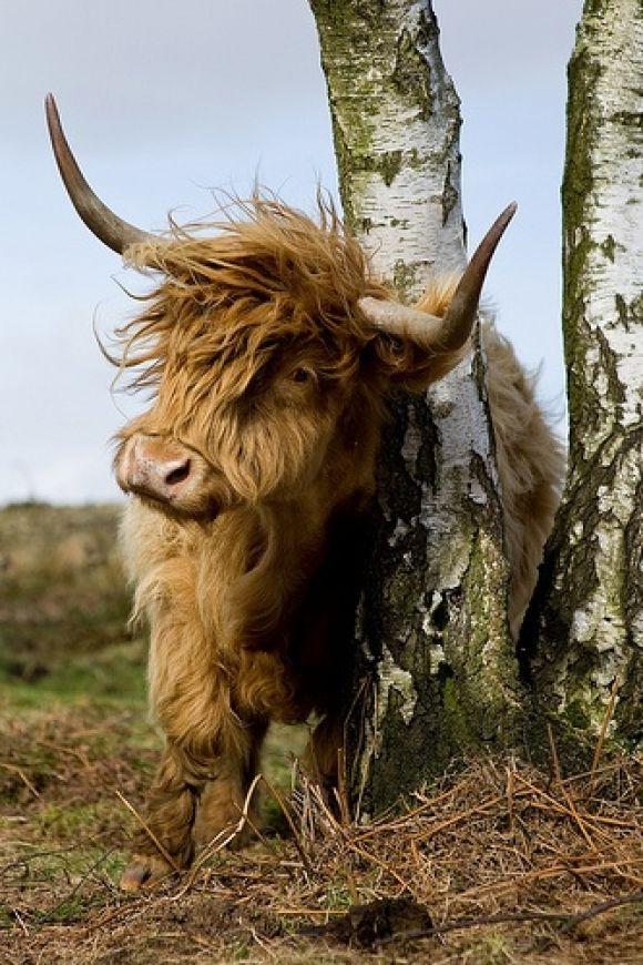 Highland Cow.  Looks like a rock star!