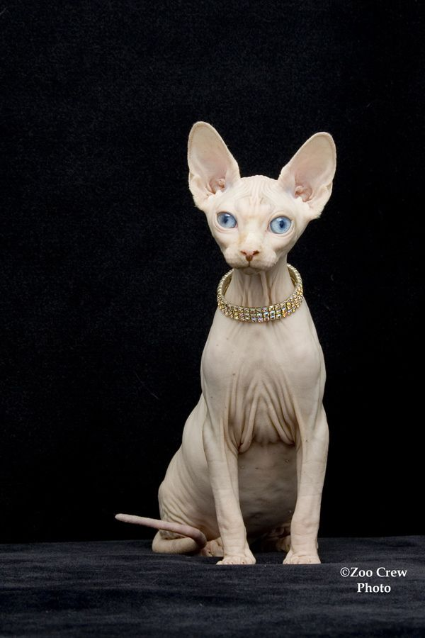 The Sphynx (also known as Canadian Hairless) is a rare breed of cat ... #kitty - more at - Catsincare.com!