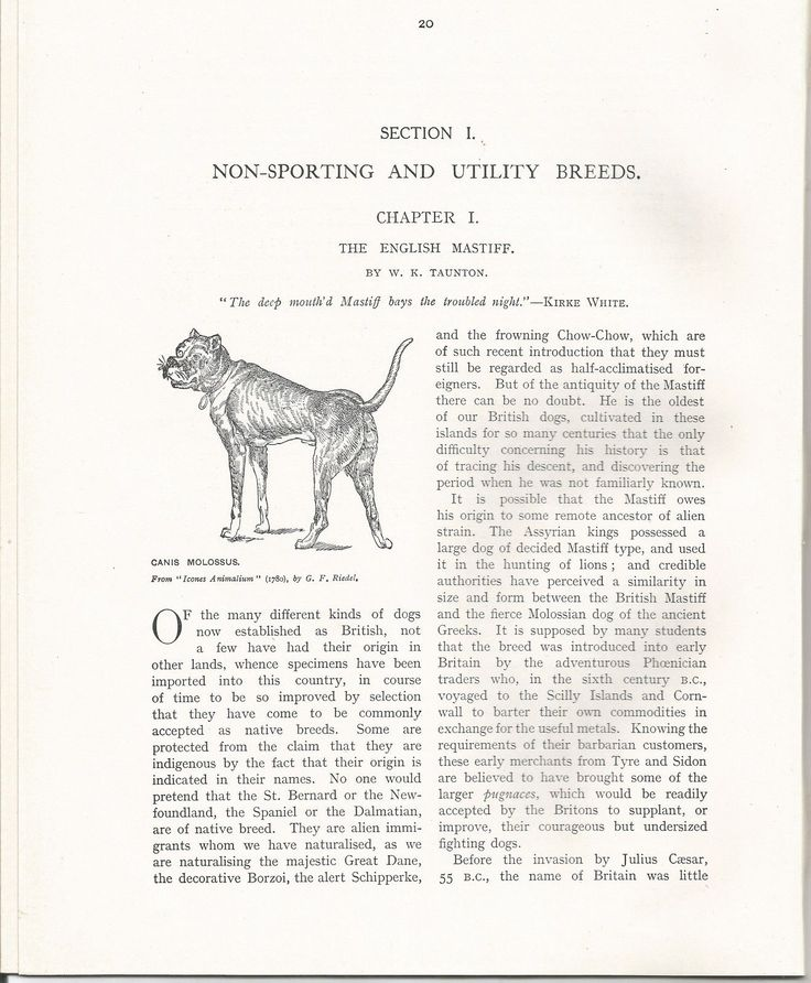 ENGLISH MASTIFF 13 PAGE ILLUSTRATED CHAPTER BY TAUNTON 1907